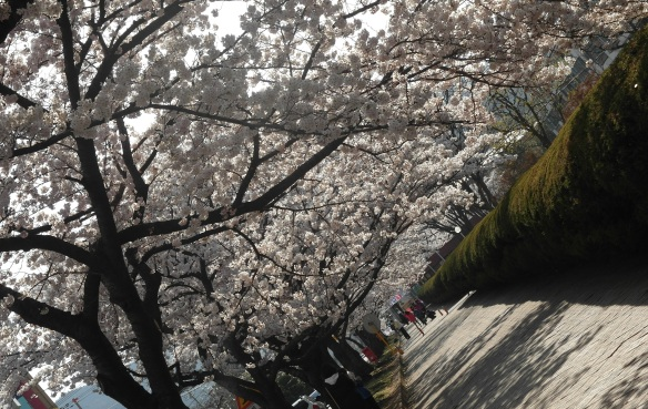 Cherry blossom in Korea during spring